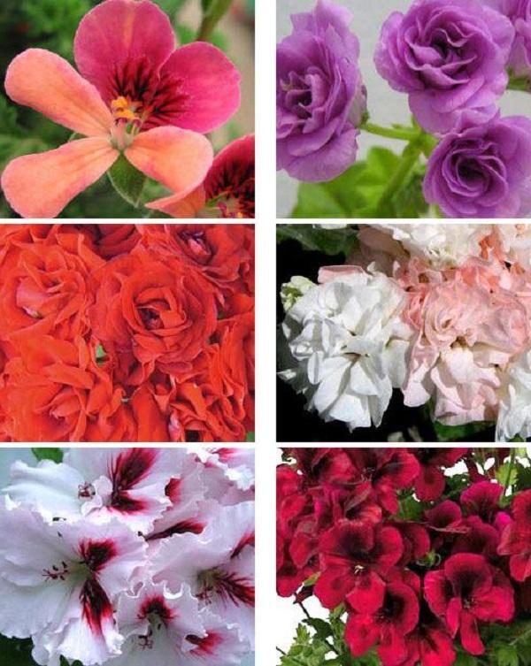 Пышное цветение разных видов герани