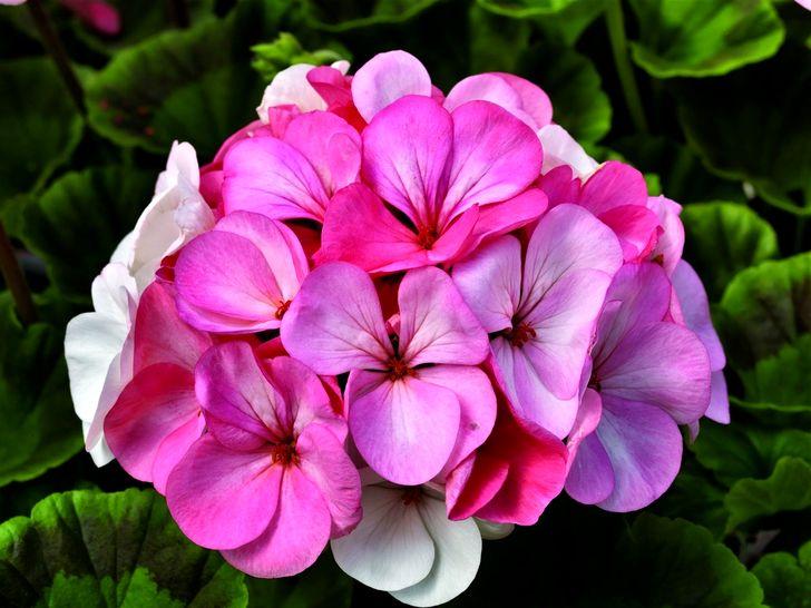 Много цветков на розовой герани