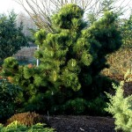 Фото 1: Хвойное дерево