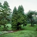 Фото 3: Высокое хвойное дерево
