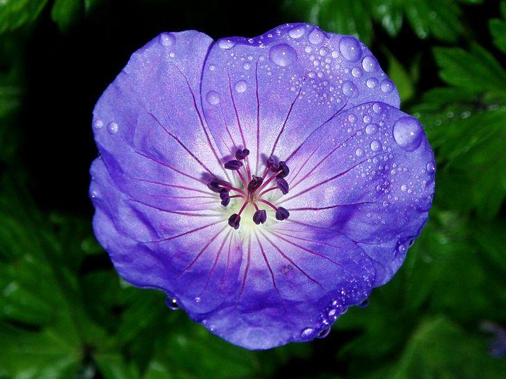 Цветок герани с капельками воды