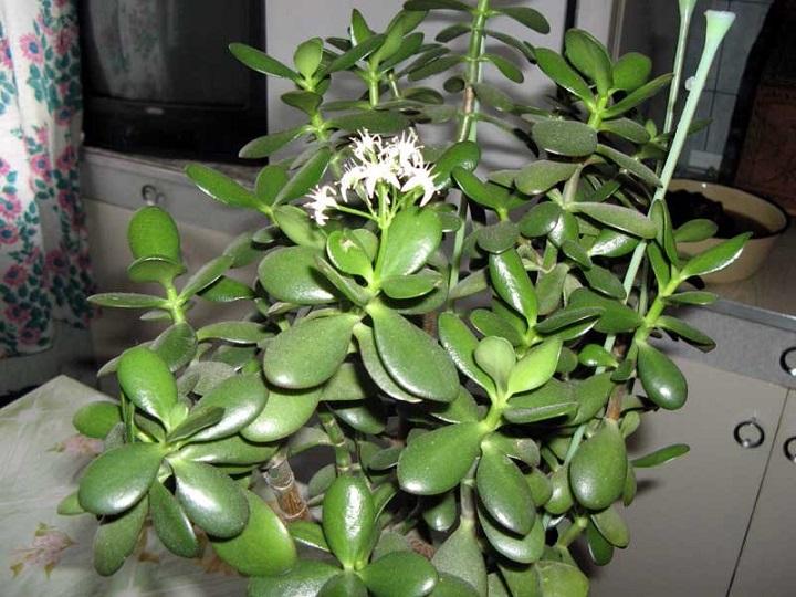Зеленые листья денежного дерева