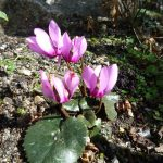 Фото 73: Cyclamen colchicum