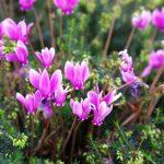 Фото 85: Цветок цикламен фото