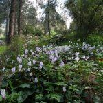 Фото 82: Цикламен персидский в лесу