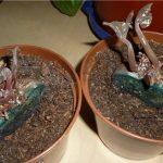 Фото 55: Посадка поделенных клубней цикламена