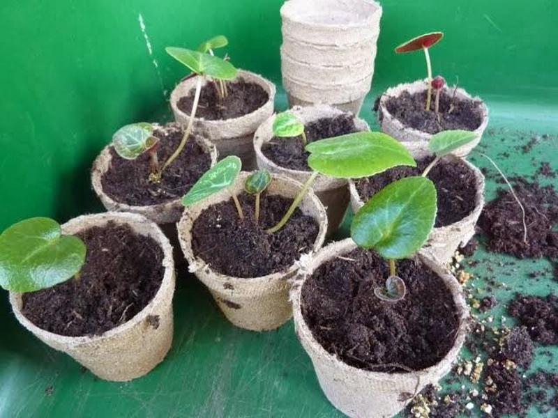 Размножение цикламена розетками листьев