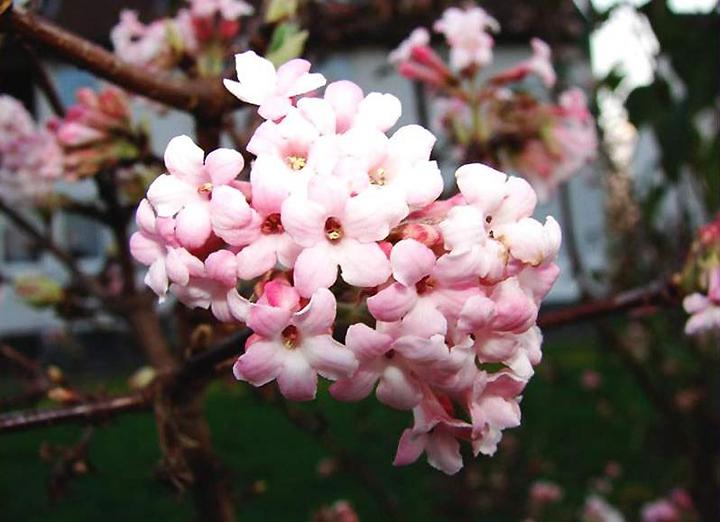 Цветы калины боднантенской