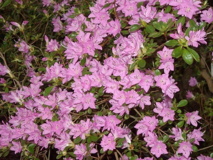 Цветки вереска