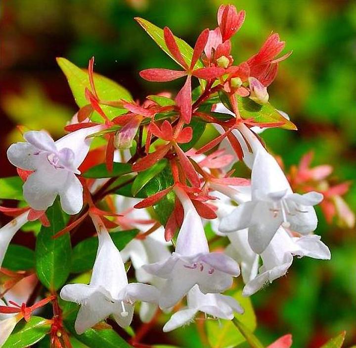 Абелия крупноцветковая