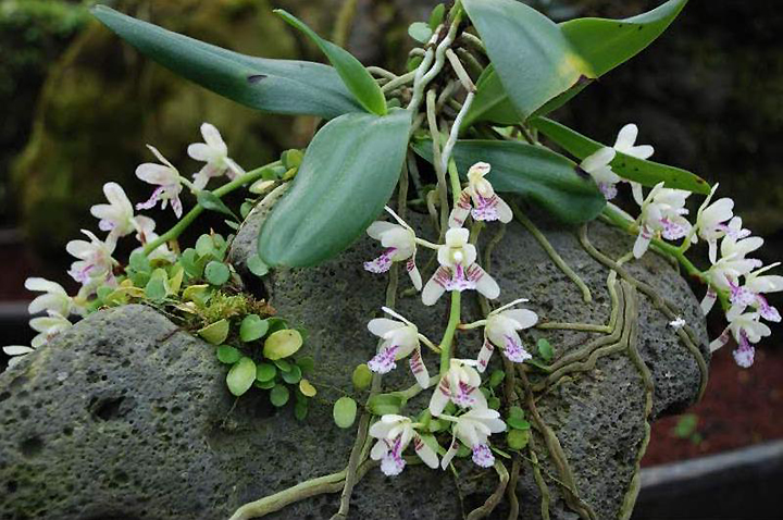 Орхидеи на скалах
