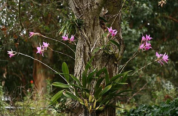 Эпифитная орхидея в природе