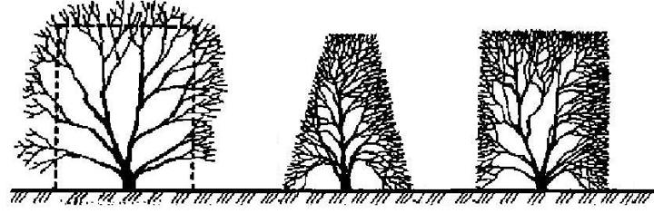 Формирование декоративного кустарника