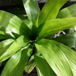 Фото 107: Листья Dracaena Rumpha