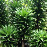 Фото 43: Dracaena fragrans compacta