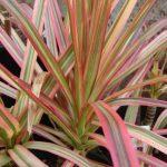 Фото 63: Драцена маргината с красноватыми листьями по краю