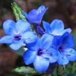 Фото 142: Eranthemum Nervosum