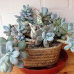 Фото 70: Pachyphytum