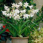 Фото 132: amaryllis alba
