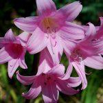 Фото 133: amaryllis belladonna