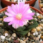 Фото 62: ariocarpus fissuratus