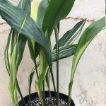 Фото 137: aspidistra variegated