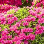Фото 45: Цветение азалии