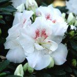 Фото 127: azalea stella maris