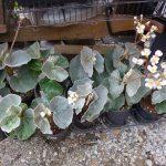 Фото 96: begonia venosa