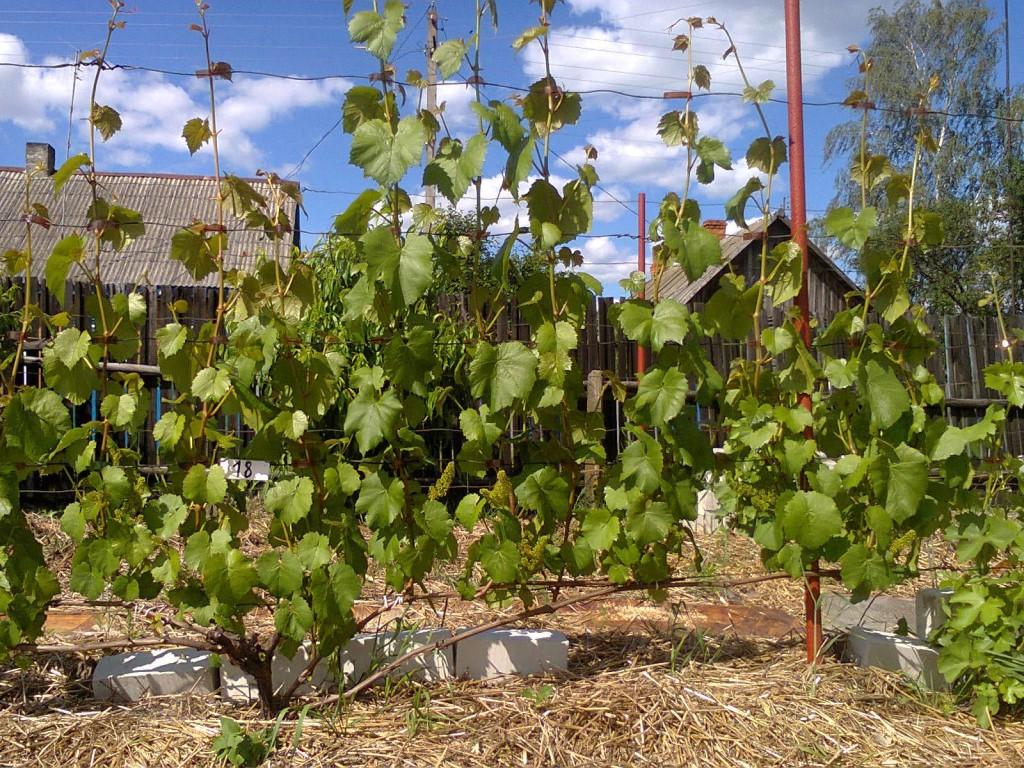Бесштамбовые кусты винограда