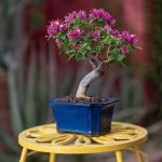 Фото 100: bougainvillea bonsai