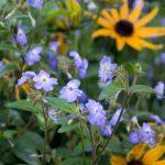 Фото 84: browallia americana