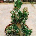 Фото 47: cereus peruvianus monstruosus