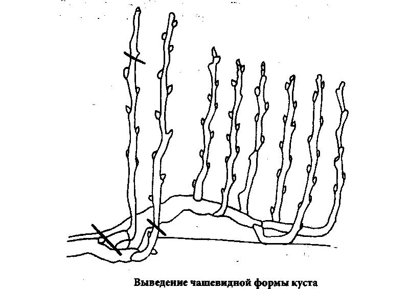 Чашевидная формовка куста винограда