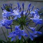 Фото 82: Сlivia blue