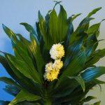 Фото 120: Цветение Драцены Компакты