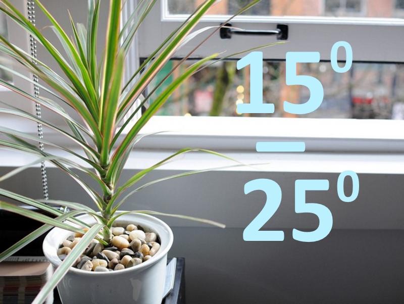 Температура для выращивания драцены