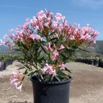 Фото 89: dwarf Pink Oleander