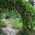 Фото 17: Арка из винограда