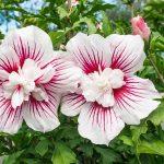 Фото 130: hibiscus syriacus