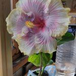 Фото 131: hibiscus tahitian princess