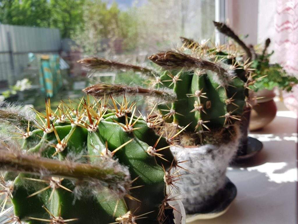 Кактусы на солнечном подоконнике