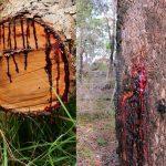 Фото 23: Смола драконьего дерева
