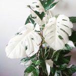 Фото 150: monstera deliciosa variegata