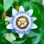 Фото 104: passiflora caerulea