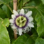 Фото 105: passiflora edulis