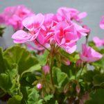 Фото 108: pelargonium roseum