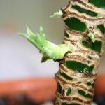 Фото 51: Появление листьев драцены