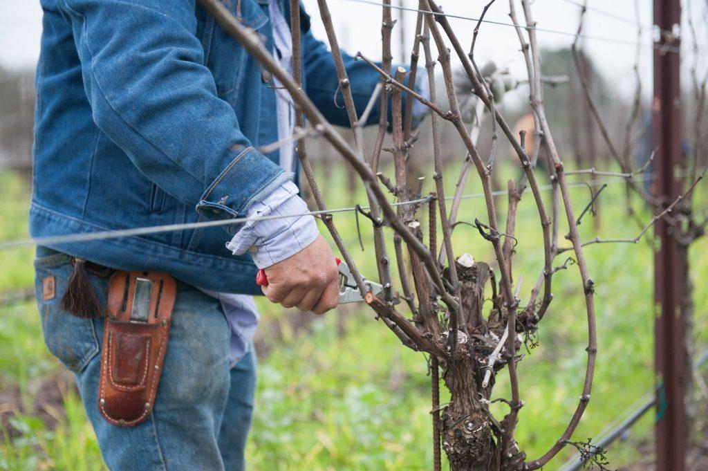Обрезка винограда по осени