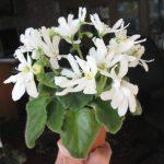 Фото 37: saintpaulia Lunar Lily White